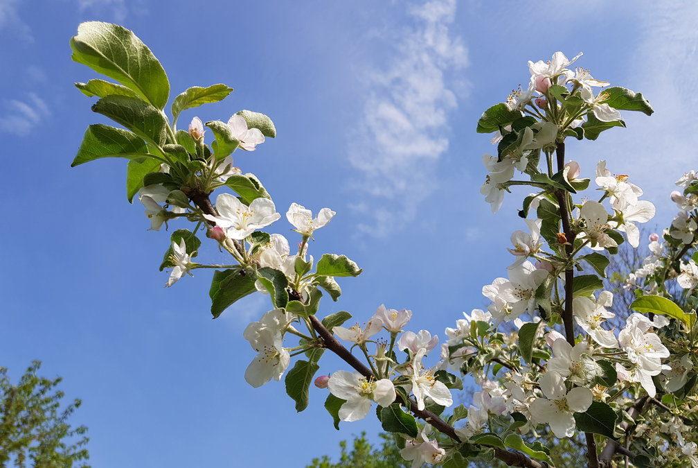 Sudetské sady v rozkvětu